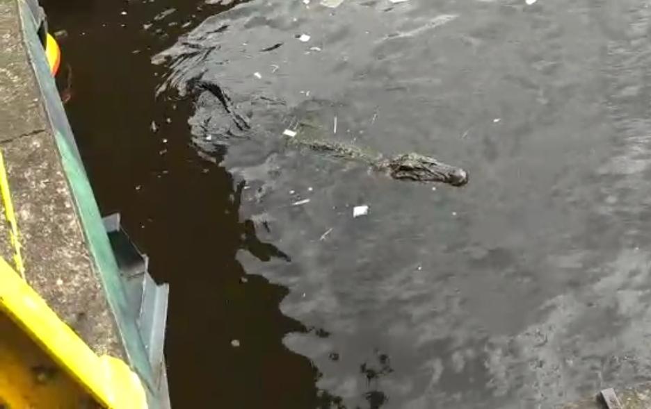 Jacaré arrasta para o rio e mata criança de 5 anos no Amazonas