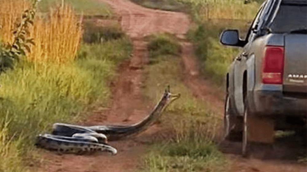 Cinco cobras gigantes capturadas