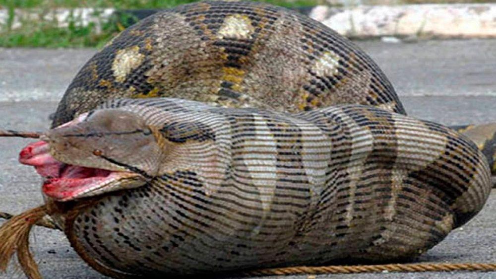 Cobras que se arrependeram amargamente