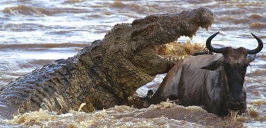 Crocodilo tem mordida mais forte do mundo